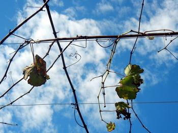 vineyard 02.JPG